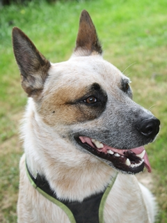 Balu Australian Cattle Dog Kundenhund